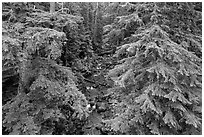 Creek in old-growth forest from above. Mount Rainier National Park ( black and white)