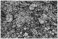 Close-up of mushrooms and ground plants. Mount Rainier National Park ( black and white)