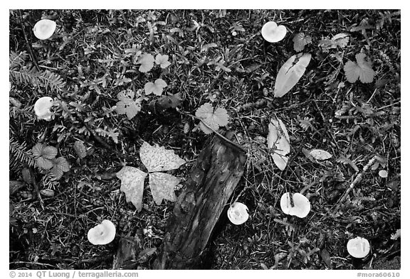 Close-up of forest floor with many mushrooms. Mount Rainier National Park (black and white)