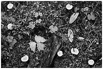 Close-up of forest floor with many mushrooms. Mount Rainier National Park ( black and white)