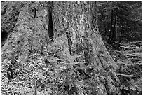 Base of tree trunk coverd with moss. Mount Rainier National Park ( black and white)