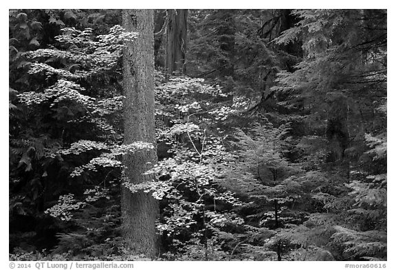Ohanapecosh rain forest with vine maple in autumn. Mount Rainier National Park (black and white)