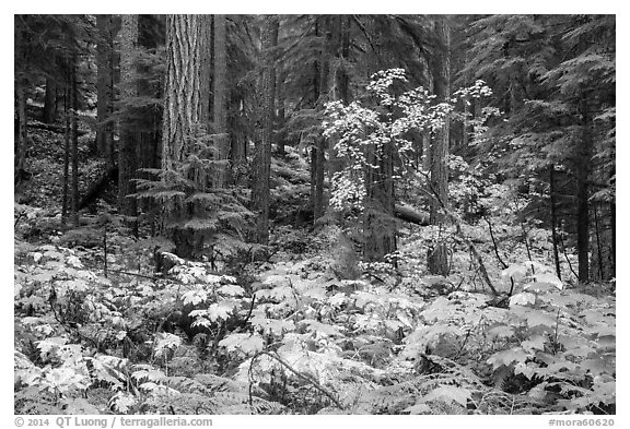 Ohanapecosh forest with bright undergrowth in autumn. Mount Rainier National Park (black and white)