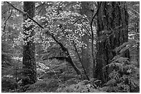 Vine maple and Ohanapecosh old-growth rain forest in autumn. Mount Rainier National Park ( black and white)