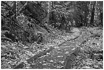 Forest trail in autumn, Ohanapecosh. Mount Rainier National Park ( black and white)
