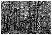 Mossy trees and autumn foliage, Ohanapecosh. Mount Rainier National Park ( black and white)