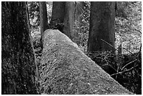 Fallen tree in autum, Grove of the Patriarchs. Mount Rainier National Park ( black and white)