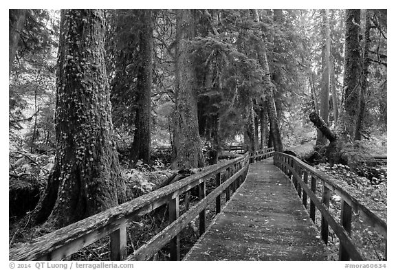 Boardwalk in autumn, Grove of the Patriarchs. Mount Rainier National Park (black and white)