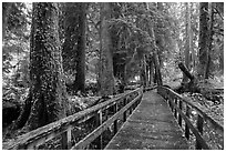Boardwalk in autumn, Grove of the Patriarchs. Mount Rainier National Park ( black and white)