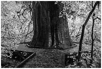Largest tree in the Grove of the Patriarchs. Mount Rainier National Park ( black and white)