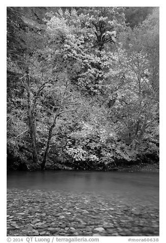 Vine maple in fall foliage along the Ohanapecosh River. Mount Rainier National Park (black and white)