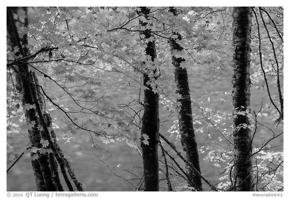 Maple trees leaves and branches lining up Ohanapecosh River. Mount Rainier National Park (black and white)