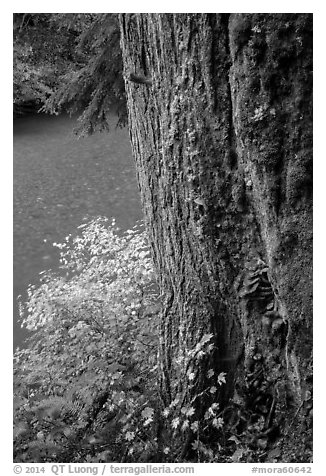 Based of trunk with mushrooms and Ohanapecosh River. Mount Rainier National Park (black and white)