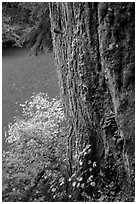 Based of trunk with mushrooms and Ohanapecosh River. Mount Rainier National Park ( black and white)