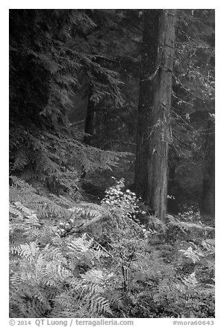 Ferns in autum color and old-growth forest. Mount Rainier National Park (black and white)