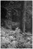 Ferns in autum color and old-growth forest. Mount Rainier National Park ( black and white)