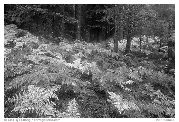 Ferns in autumn and old-growth forest. Mount Rainier National Park (black and white)
