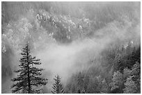 Fog and autumn colors, Stevens Canyon. Mount Rainier National Park ( black and white)