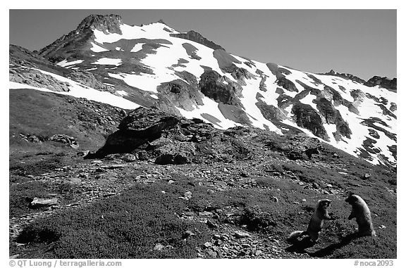 Marmots and Sahale Peak, morning, North Cascades National Park. Washington, USA.