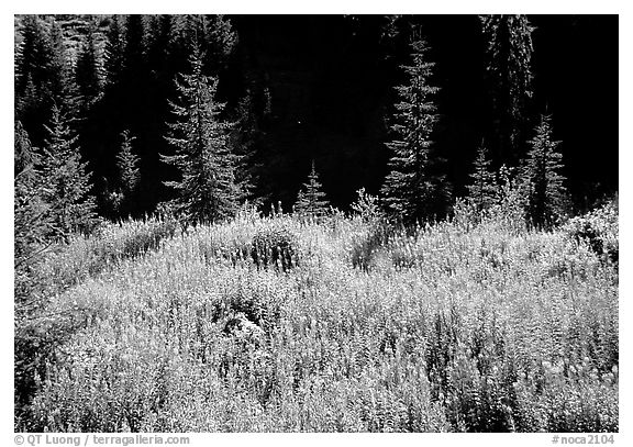 Wildflowers and spruce trees, North Cascades National Park.  (black and white)