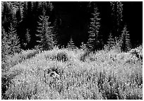 Wildflowers and spruce trees, North Cascades National Park. Washington, USA. (black and white)