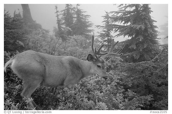 Mule deer in fog,  North Cascades National Park.  (black and white)