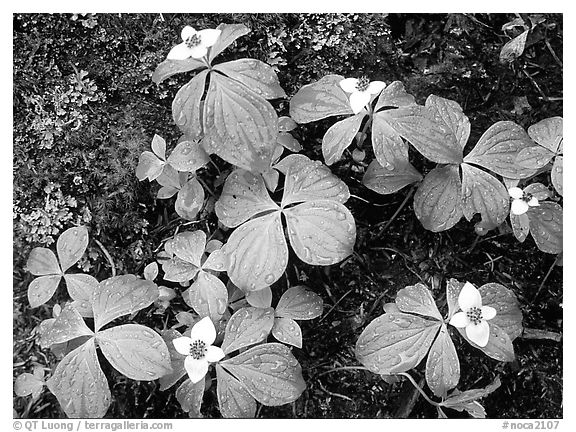 Flowers close-up,  North Cascades National Park.  (black and white)