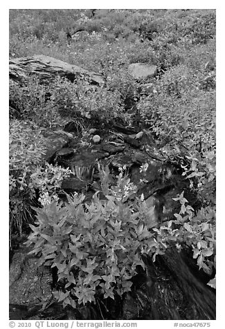 Wildflowers and stream, North Cascades National Park.  (black and white)
