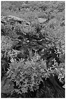 Wildflowers and stream, North Cascades National Park.  ( black and white)
