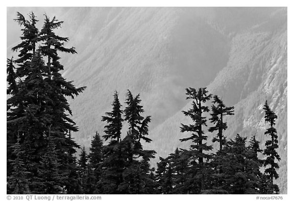 Conifers and hazy forested slope, North Cascades National Park.  (black and white)