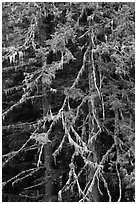 Fir and lichen, North Cascades National Park.  ( black and white)