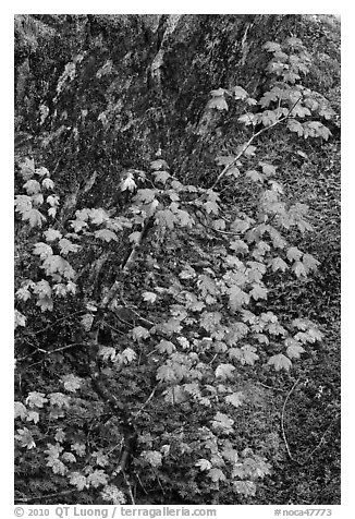 Vine maple leaves in fall color, moss and rock, North Cascades National Park.  (black and white)