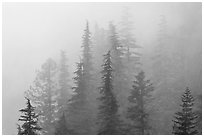 Firs in fog, North Cascades National Park.  ( black and white)
