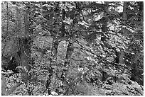 Mixed forest with autumn colors, North Cascades National Park.  ( black and white)