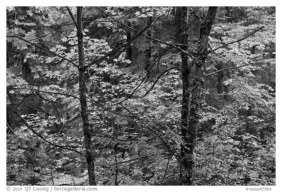 Mixed trees with fall colors, North Cascades National Park.  (black and white)