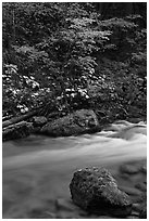 Maple tree and boulder, North Fork of the Cascade River, North Cascades National Park.  ( black and white)