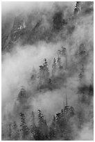Hillside trees in fog, North Cascades National Park. Washington, USA. (black and white)