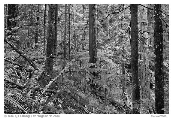 Old-growth forest of hemlock, cedar, and spruce, North Cascades National Park Service Complex.  (black and white)