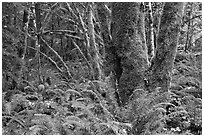 Ferns and moss-covered trunks, North Cascades National Park Service Complex.  ( black and white)