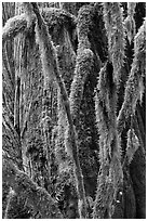 Branches covered with mosses and trunk, North Cascades National Park Service Complex. Washington, USA. (black and white)