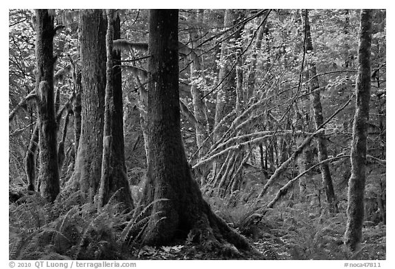 Primeval rainforest, North Cascades National Park Service Complex.  (black and white)