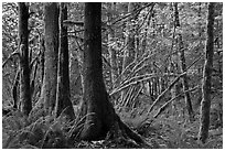 Primeval rainforest, North Cascades National Park Service Complex.  ( black and white)