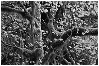 Maple and moss-covered tree trunks, North Cascades National Park Service Complex.  ( black and white)
