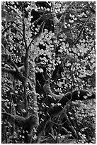 Maple leaves in dark rainforest, North Cascades National Park Service Complex.  ( black and white)