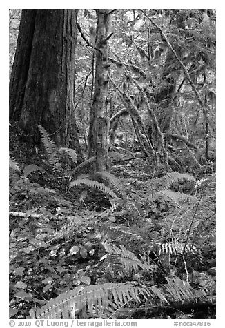 Ferns and rainforest, North Cascades National Park Service Complex.  (black and white)