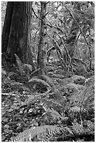 Ferns and rainforest, North Cascades National Park Service Complex. Washington, USA. (black and white)