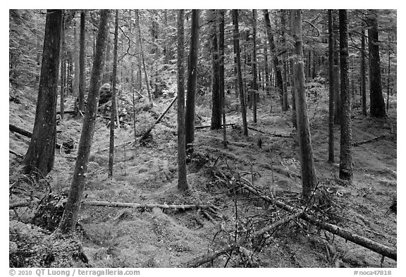 Rainforest with moss-covered floor and fallen trees, North Cascades National Park Service Complex.  (black and white)