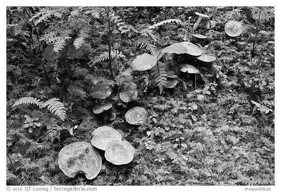 Mushrooms, North Cascades National Park Service Complex.  (black and white)