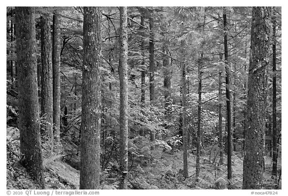 Old-growth rainforest, North Cascades National Park Service Complex.  (black and white)