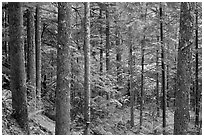 Old-growth rainforest, North Cascades National Park Service Complex.  ( black and white)